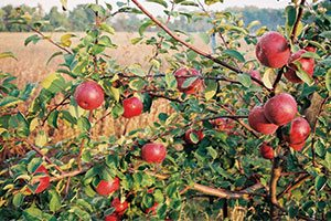 mcintosh apple malus domestica catalog