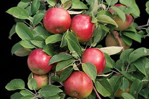 snowsweet apple malus domestica wildung catalog
