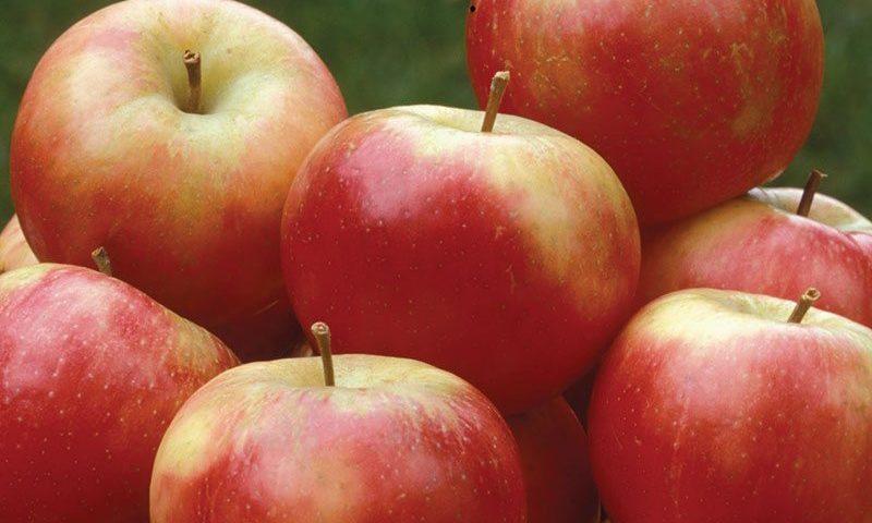 snowsweet apple malus domestica wildung ftimg