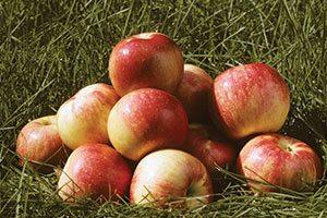 zestar apple malus domestica minnewashta catalog