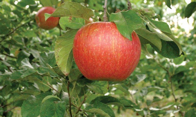 zestar apple malus domestica minnewashta ftimg