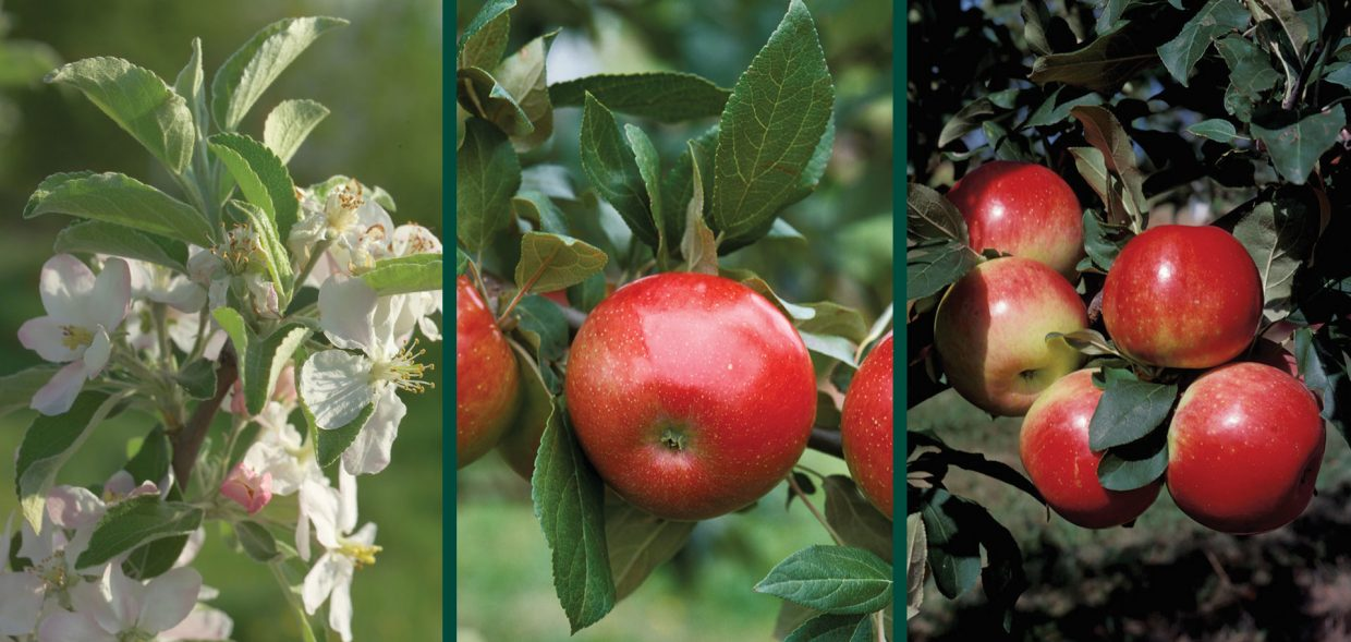 zestar apple malus domestica minnewashta