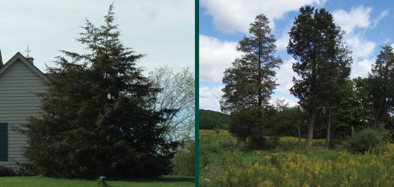 naughty natives juniperus virginiana eastern red cedar