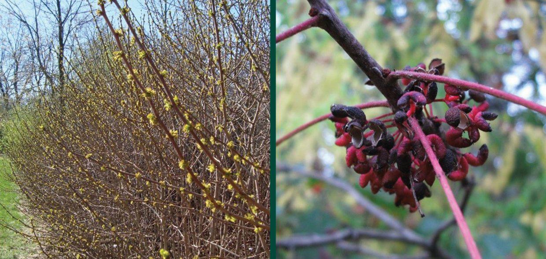 naughty natives zanthoxylum americanum prickly ash