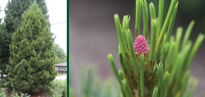 trautman plants herbert trautman pinus cembra short stuff swiss stone pine