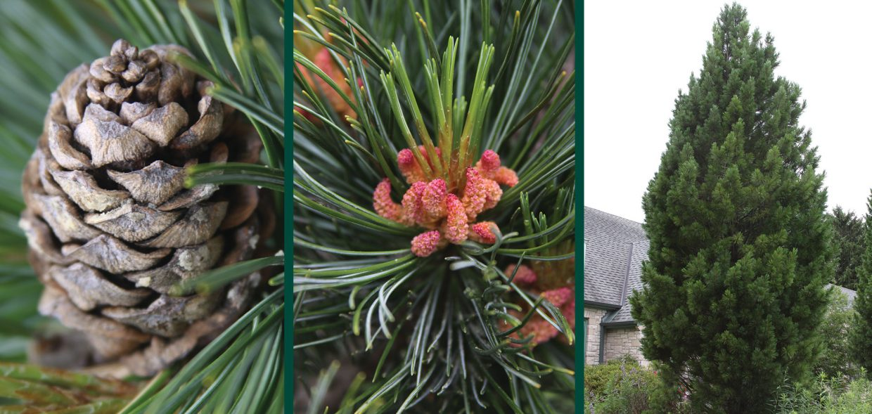 trautman plants herbert trautman pinus cembra tip top swiss stone pine