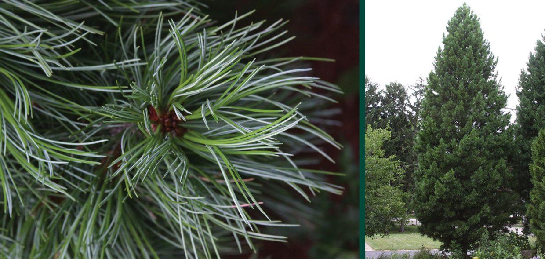 trautman plants herbert trautman pinus cembra twister swiss stone pine