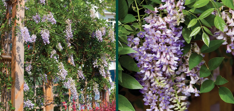 fine vines wisteria macrostachya betty matthews