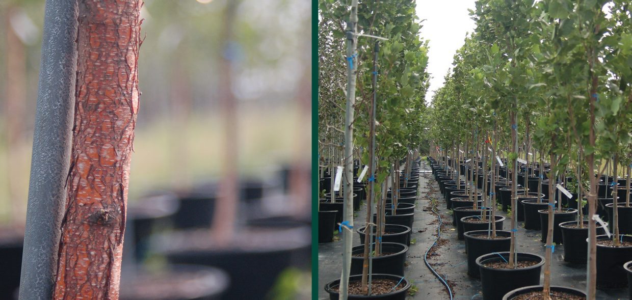 container-tree-planting-in-fall-assorted2