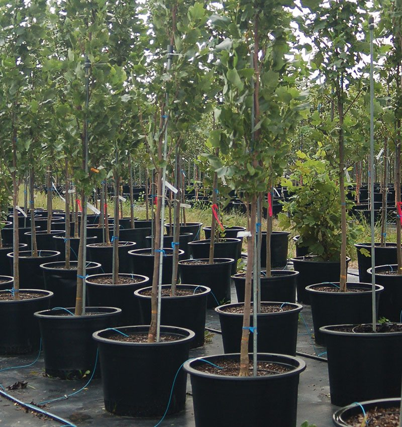 planting container trees in fall
