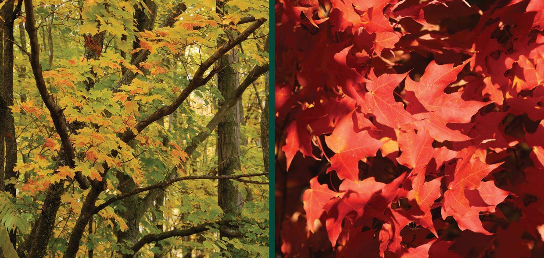 sugar maple yellow fall color