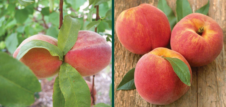 reliance peach prunus persica