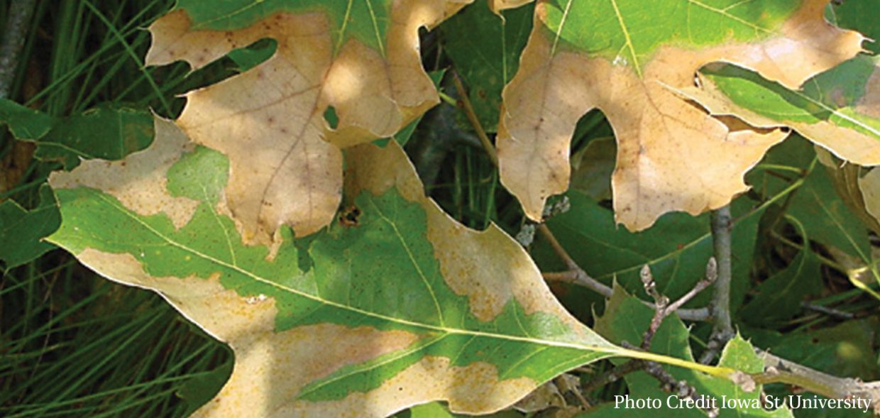 native-oaks-wisconsin-oak-pests-oak-wilt
