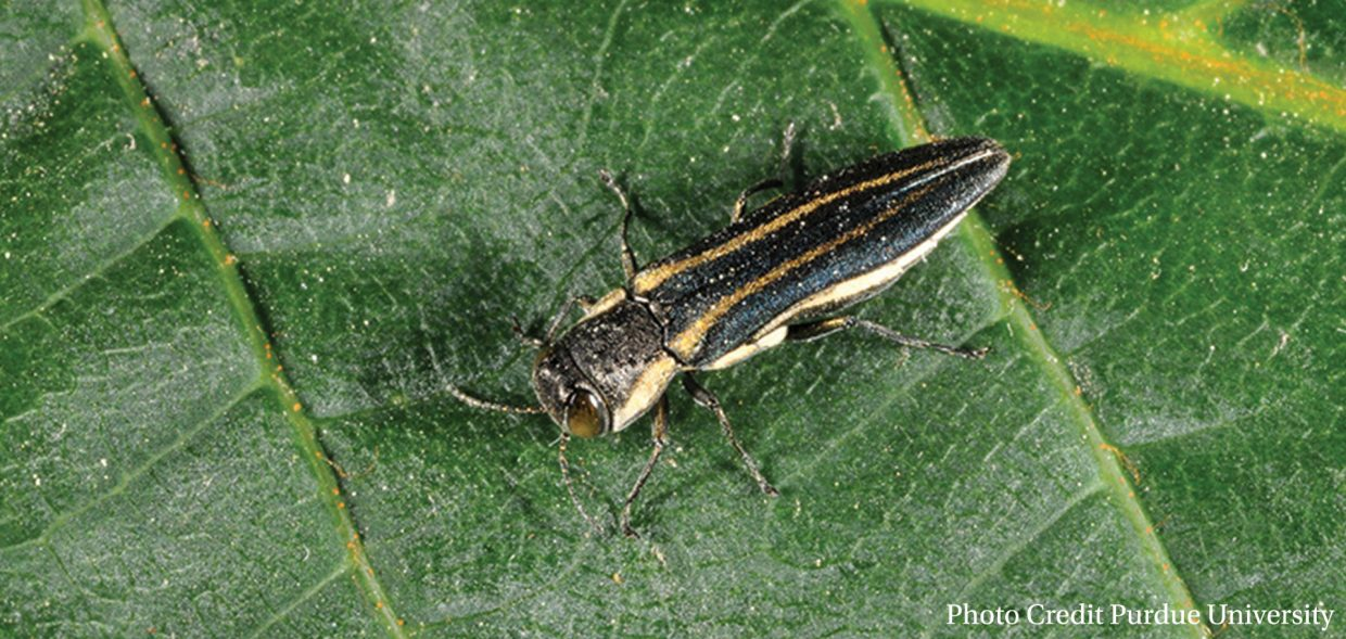 native-oaks-wisconsin-oak-pests-two-lined-chestnut-borer