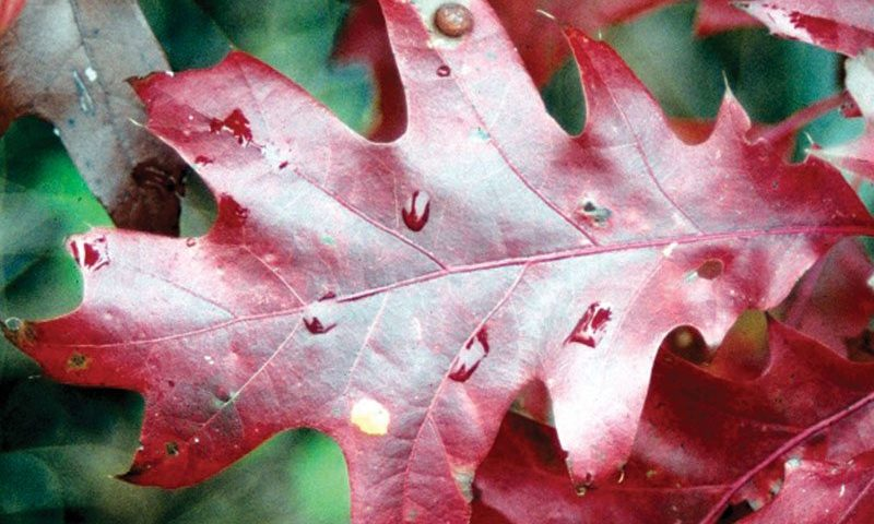 native-oaks-wisconsin-red-oak-ftimg