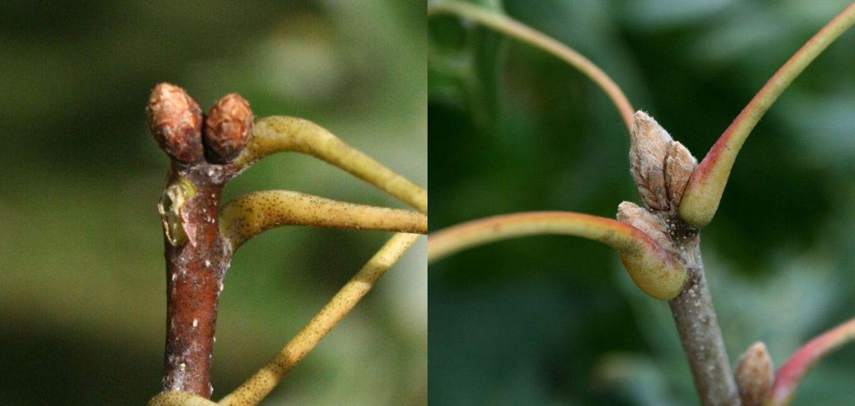 native-oaks-wisconsin-red-oak