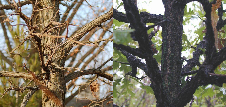 native-oaks-wisconsin-white oak