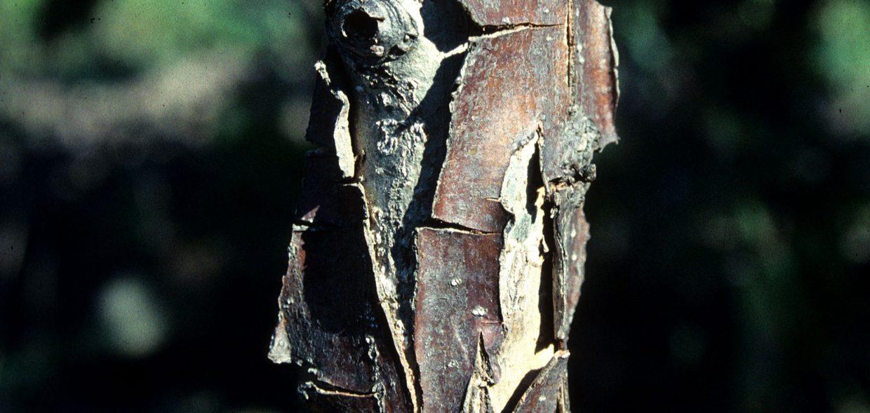 native-oaks-wisconsin-swamp-white-oak