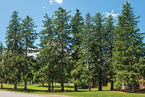 norway spruce picea abies catalog