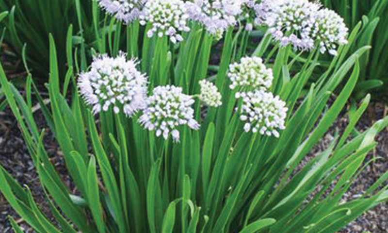 Allium-'Summer-Peek-a-Boo'