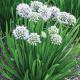 Allium-'Summer-Peek-a-Boo'