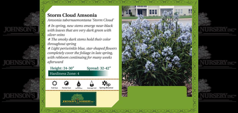 Amsonia tabernaemontana Storm Cloud