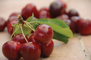 top selling fruit tree north star cherry prunus cerasus catalog