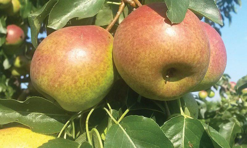 summercrisp-pear-ftimg