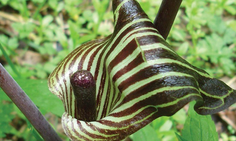 Jack In The Pulpit Knowledgebase Johnsons Nursery