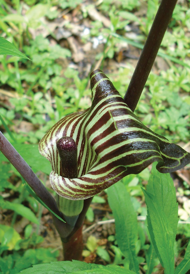 Arisaema-triphyllum-jack-in-the-pulpit-ftimg