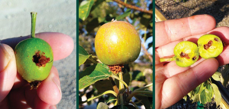 codling moth-apple-pest-damage-fruit-frass-calyx-larvae-seeds