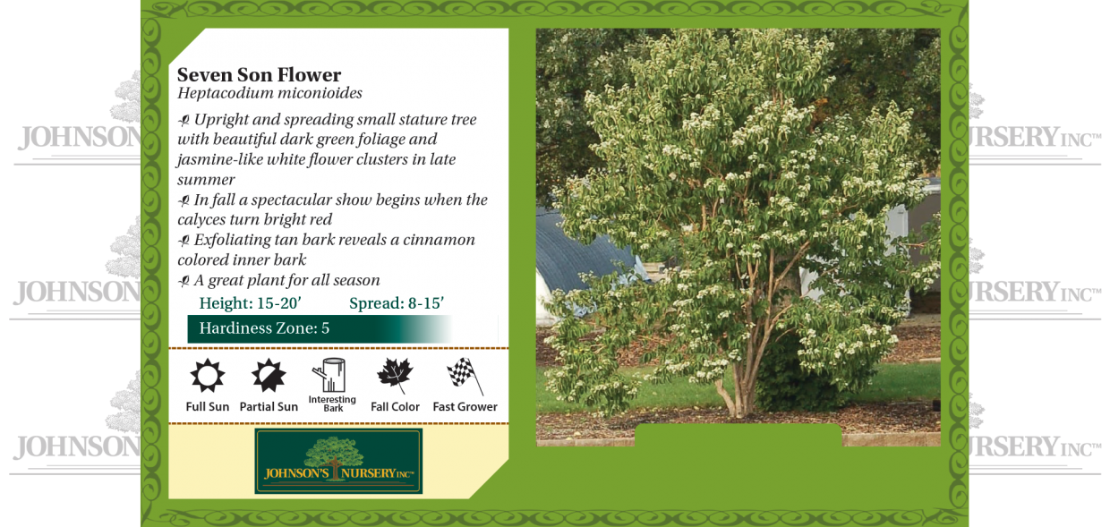 seven son flower heptacodium miconioides benchcard