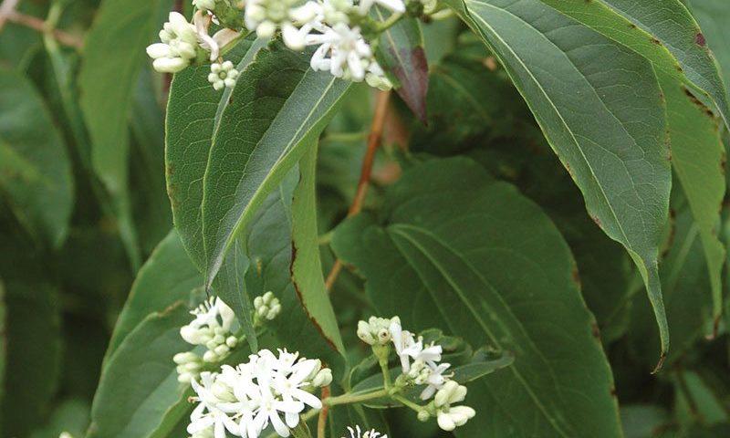 seven son flower heptacodium miconioides ftimg