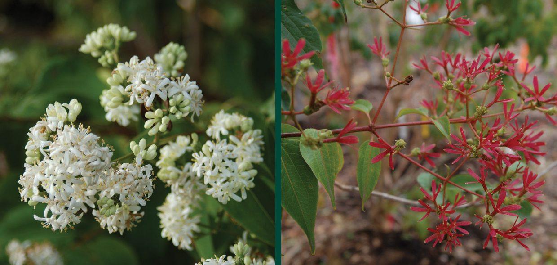 seven son flower heptacodium miconioides