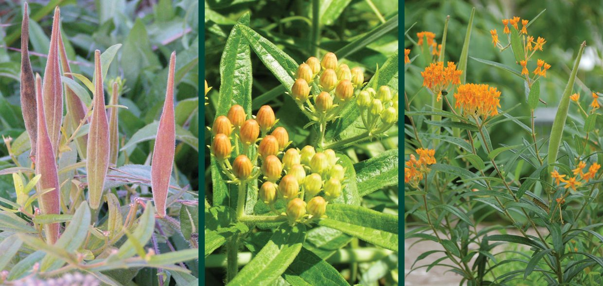Asclepias tuberosa butterflyweed 1
