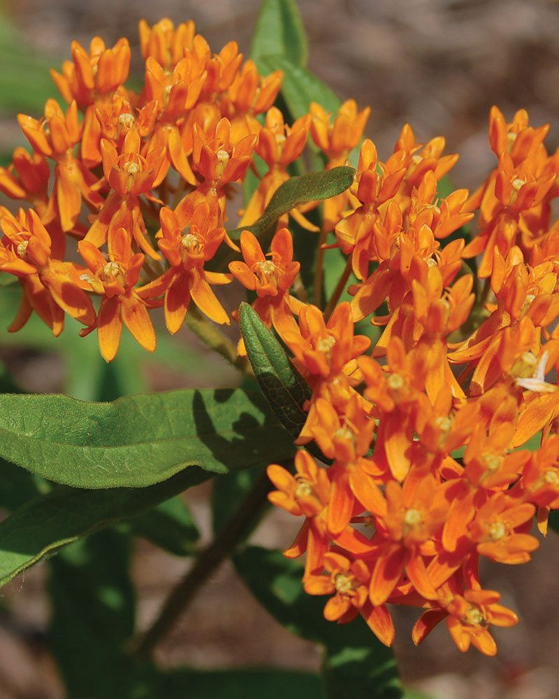 Asclepias-tuberosa-butterflyweed-ftimg