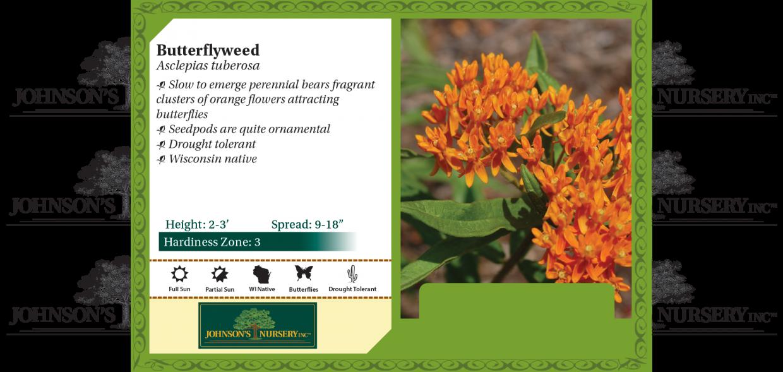 Asclepias tuberosa butterflyweed pop