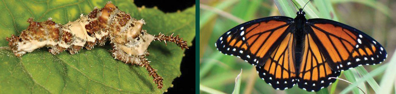 caterpillars-basilarchia-archippus-viceroy-larvae-butterfly