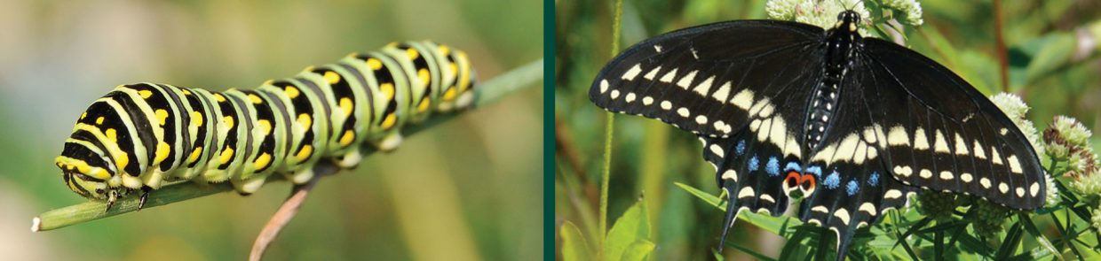 caterpillars papilio polyxenes black swallowtail larvae butterfly