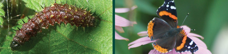 caterpillars-vanessa-atalanta-red-admiral-larvae-butterfly