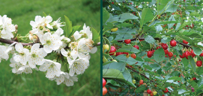 evans bali cherry prunus cerasus