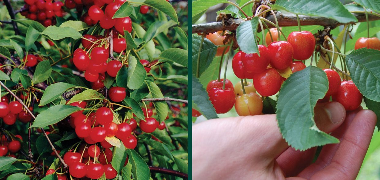 montmorency cherry prunus cerasus