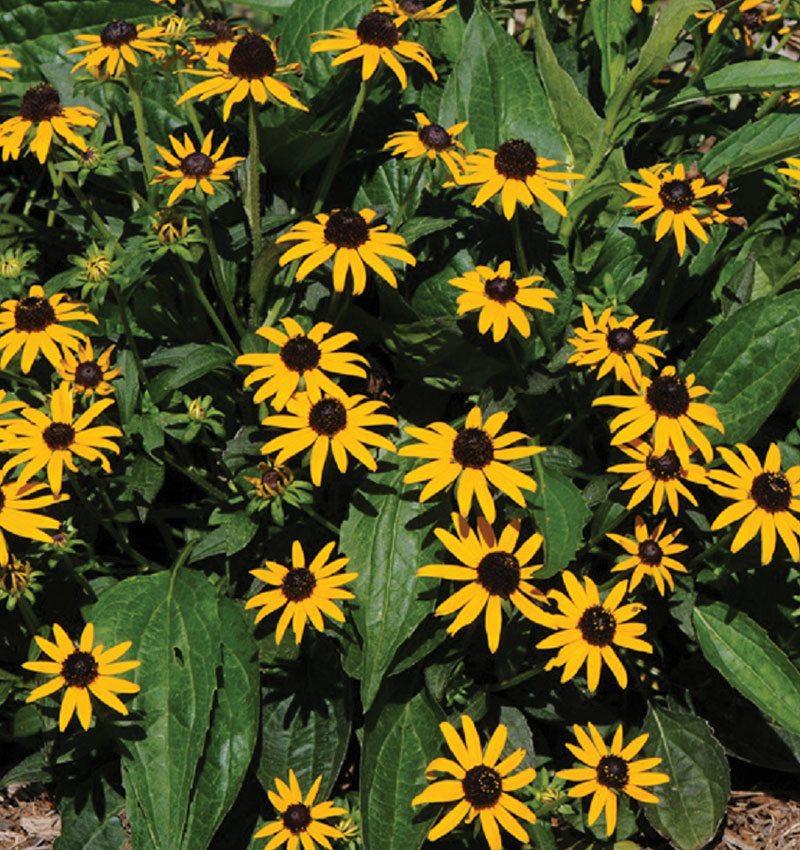 Rudbeckia-fulgida-var-sullivantii-Little-Goldstar-black-eyed-susan-ftimg
