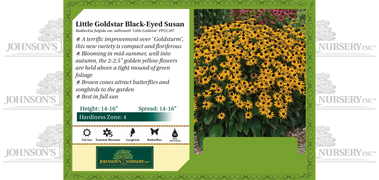 Rudbeckia-fulgida-var-sullivantii-Little-Goldstar-black-eyed-susan-pop