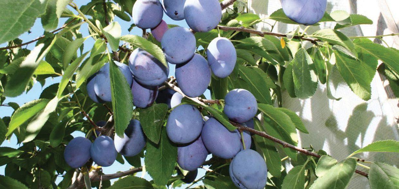 Mt Royal Plum Prunus Domestica
