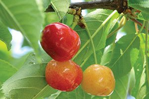 rainier sweet cherry prunus avium catalog