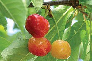 rainier sweet cherry prunus avium catalog