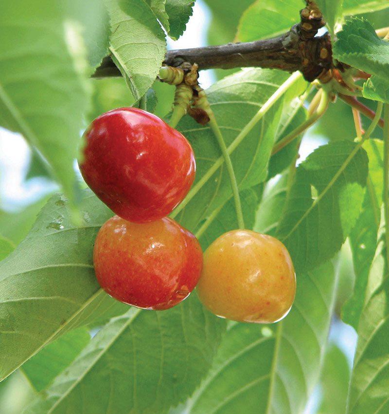 rainier sweet cherry prunus avium ftimg
