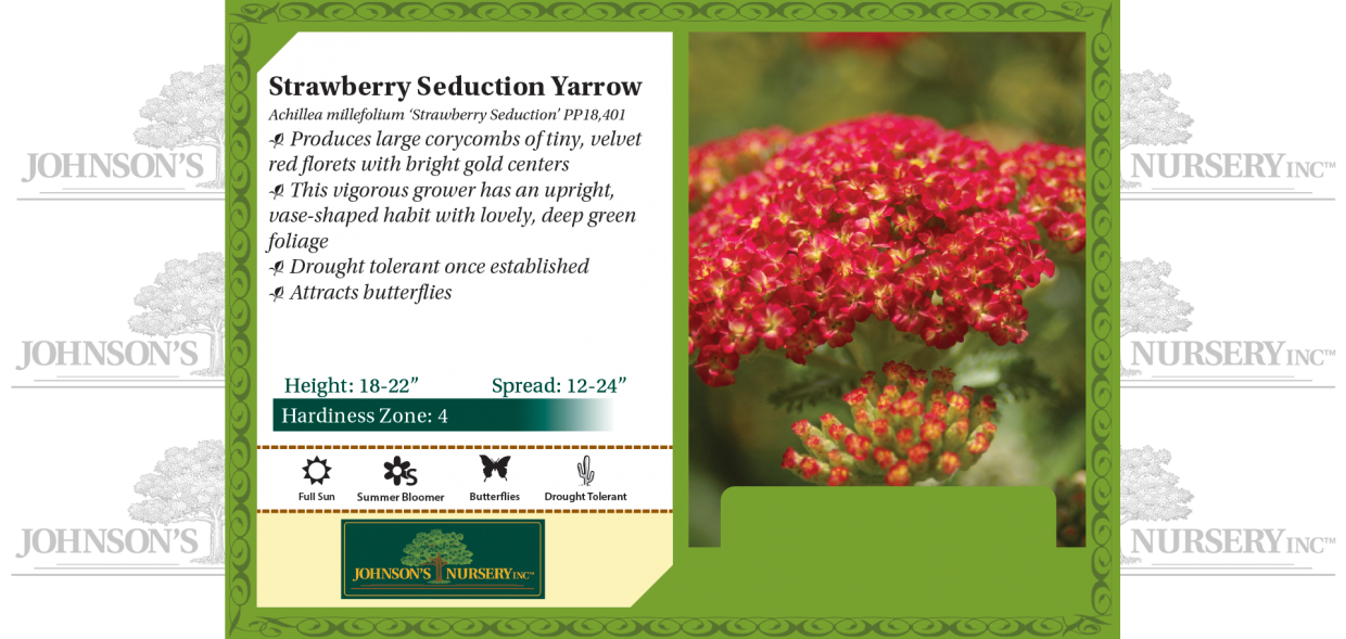strawberry seduction yarrow achillea millefolium benchcard