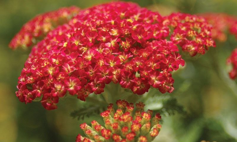 strawberry seduction yarrow achillea millefolium ftimg